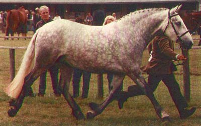 Roma Blue Hawk in Winning form at a Show in Great Brittian